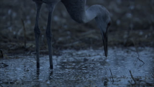 a sandhill crane forages in shallow water and then splashes away. - sandhill crane stock videos & royalty-free footage