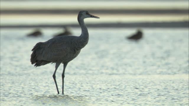 sandhill crane in water - sandhill crane stock videos & royalty-free footage