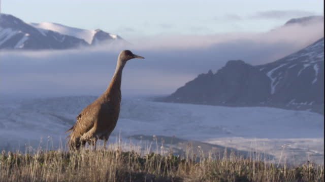 sandhill crane looks around on the edge of the arctic tundra. available in hd - sandhill crane stock videos & royalty-free footage