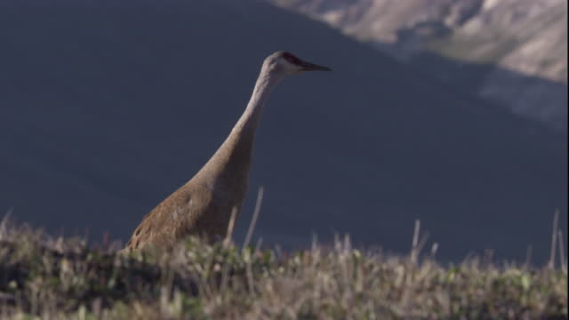 sandhill crane looks around the tundra of arctic canada. available in hd - sandhill crane stock videos & royalty-free footage