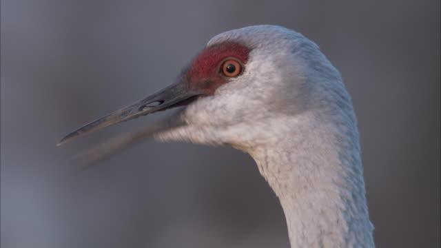 a sandhill crane looks around. - sandhill crane stock videos & royalty-free footage