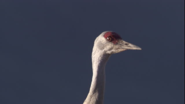 sandhill crane on tundra stretches its neck in the canadian arctic. available in hd - sandhill crane stock videos & royalty-free footage