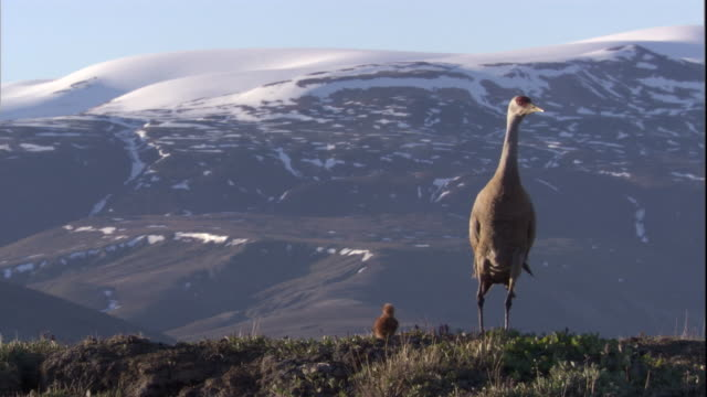 sandhill crane peers across a tundra with its chick in the canadian arctic. available in hd - sandhill crane stock videos & royalty-free footage