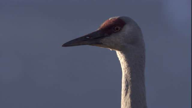 sandhill crane peers around on tundra. available in hd - sandhill crane stock videos & royalty-free footage