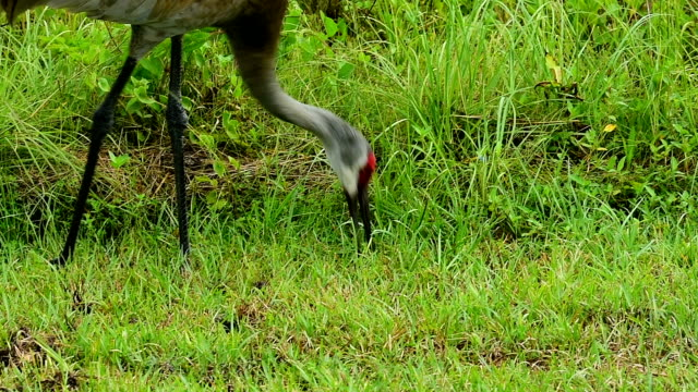 sandhill crane probing the ground with its beak in search of food - sandhill crane stock videos & royalty-free footage