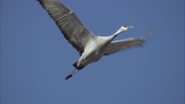a sandhill crane slowly flaps its wings and flies in a blue sky. - sandhill crane stock videos & royalty-free footage