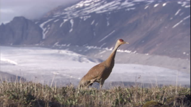 sandhill crane steps across tundra near snowy mountains in the canadian arctic. - sandhill crane stock videos & royalty-free footage