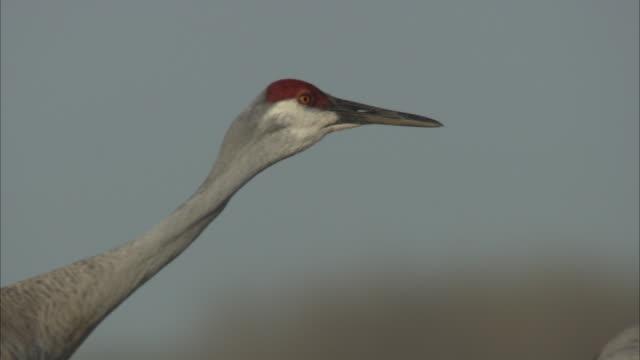 a sandhill crane struts past its flock. - sandhill crane stock videos & royalty-free footage