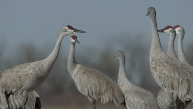 a sandhill crane struts past  other members of its flock. - sandhill crane stock videos & royalty-free footage