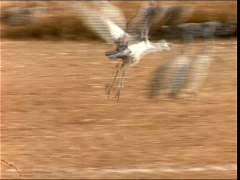 a sandhill crane takes flight from a field. - sandhill crane stock videos & royalty-free footage