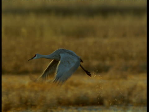 sandhill crane takes off and flies over swamp, new mexico - sandhill crane stock videos & royalty-free footage