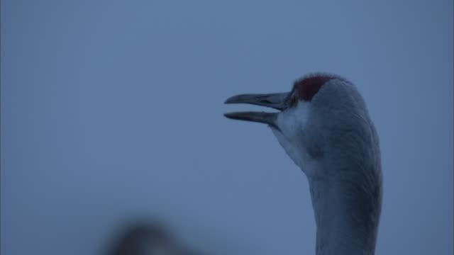 a sandhill crane vocalizes. - sandhill crane stock videos & royalty-free footage