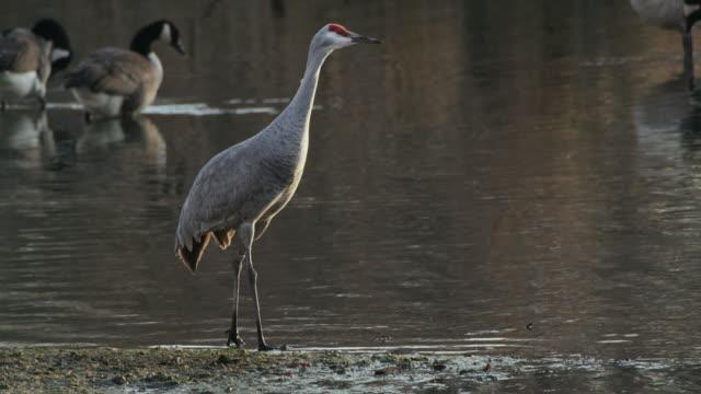 sandhill crane walks through water. - sandhill crane stock videos & royalty-free footage