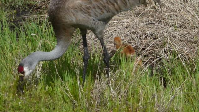 kanadischer kranich mit zwei kleine küken - nest stock-videos und b-roll-filmmaterial