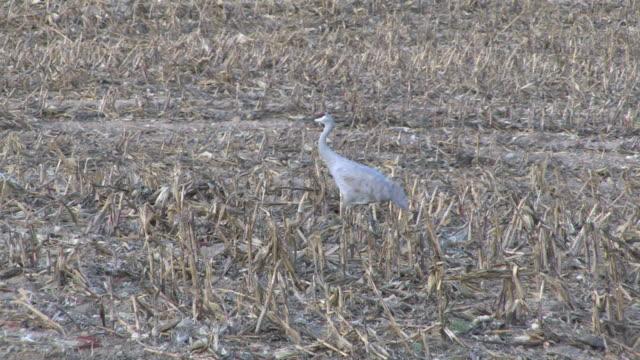 sandhill cranes 24 - hd 1080/30f - sandhill crane stock videos & royalty-free footage