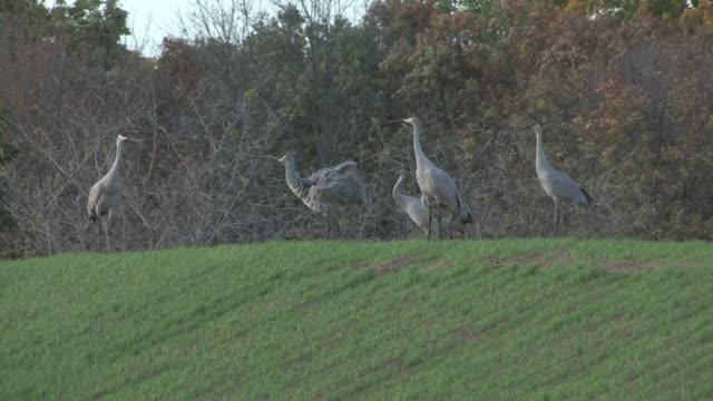 sandhill cranes 26 - hd 1080/30f - sandhill crane stock videos & royalty-free footage