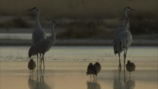 Sandhill Cranes and babies