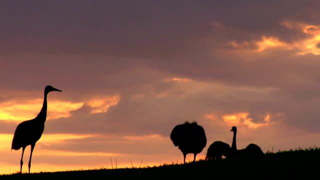 sandhill gru al tramonto - gru video stock e b–roll