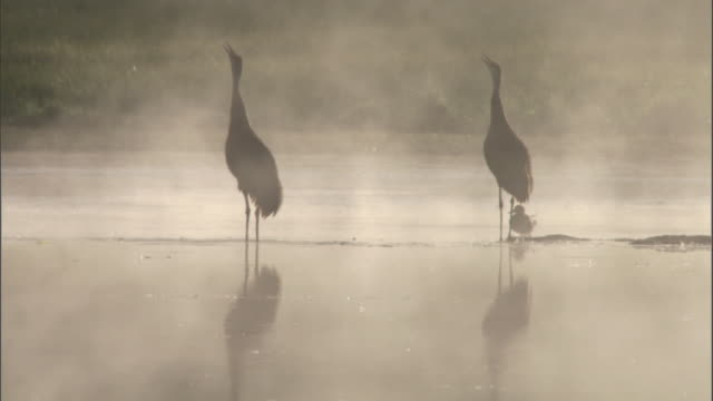 Sandhill cranes (Grus canadensis) call on misty lake, Yellowstone, USA
