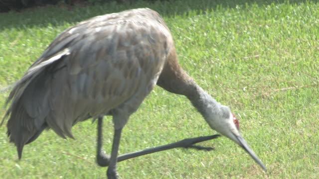 sandhill cranes closeup 19 - hd 30f - mindre än 10 sekunder bildbanksvideor och videomaterial från bakom kulisserna