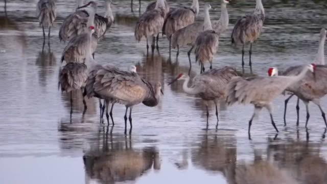 sandhill cranes closeup - sandhill crane stock videos & royalty-free footage