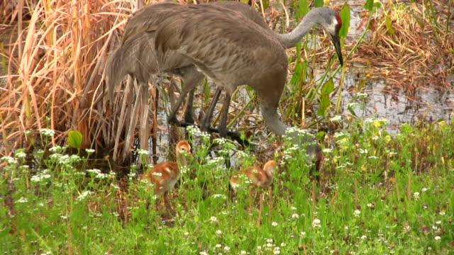 kanadischer kranich füttern ihre jungen küken - kleine gruppe von tieren stock-videos und b-roll-filmmaterial