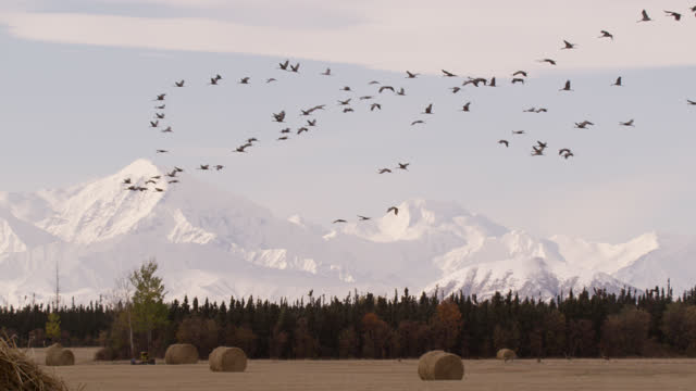 sandhill cranes fly over field, alaska. - wildlife stock videos & royalty-free footage