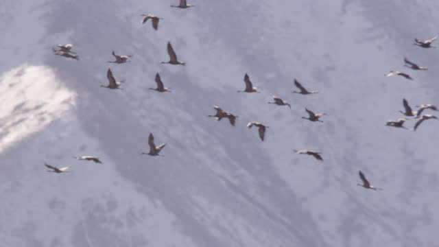 """sandhill cranes fly over mountains, alaska. - """"bbc natural history"""" stock videos & royalty-free footage"""
