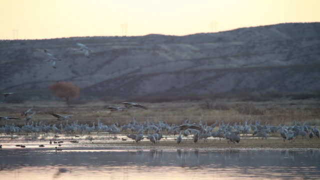 ws sandhill cranes flying and landing in marsh water / bosque del apache, new mexico, usa - bosque del apache national wildlife reserve stock videos & royalty-free footage