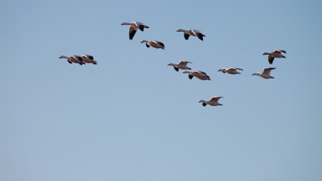 ws ts pan sandhill cranes flying and landing into marsh water / bosque del apache, new mexico, usa  - bosque del apache national wildlife reserve stock videos & royalty-free footage