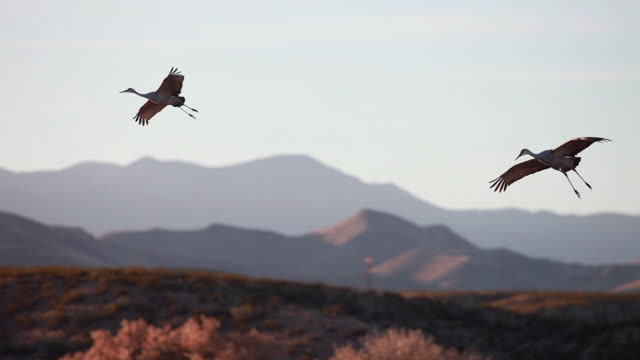 ws ts pan sandhill cranes flying towards marsh water / bosque del apache, new mexico, usa - bosque del apache national wildlife reserve stock videos & royalty-free footage