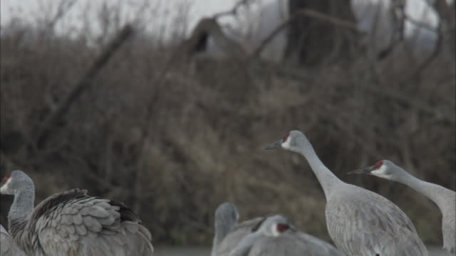 sandhill cranes gather on a wooded riverbank where one crane opens its wings and struts past. - gliedmaßen körperteile stock-videos und b-roll-filmmaterial