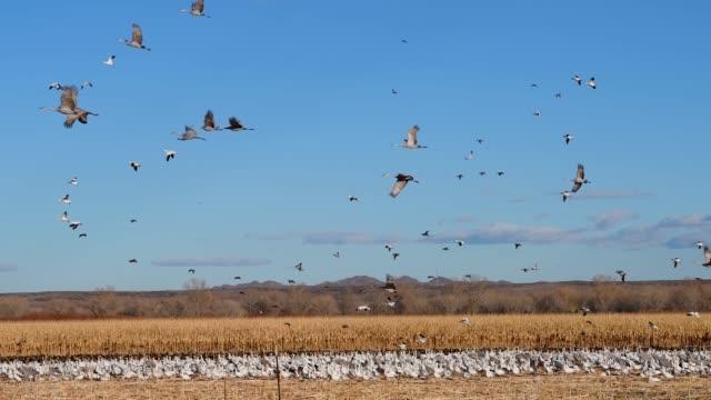 sandhill cranes in flight over bosque del apache nwr - bosque del apache national wildlife reserve stock videos & royalty-free footage