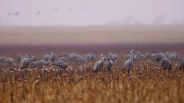 sandhill cranes in the winter - sandhill crane stock videos & royalty-free footage
