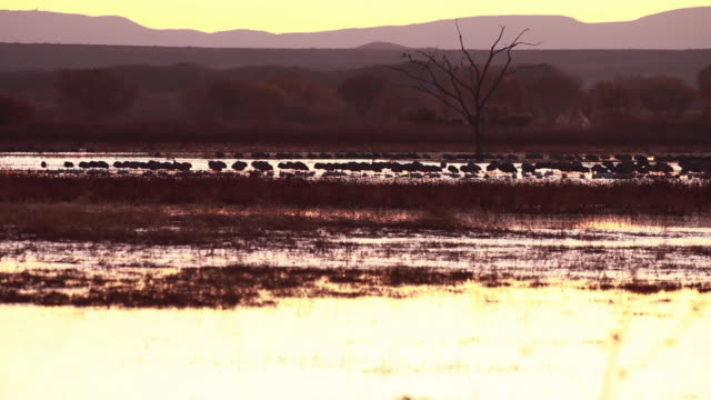ws sandhill cranes standing in marsh at dusk / bosque del apache, new mexico, usa - bosque del apache national wildlife reserve stock videos & royalty-free footage