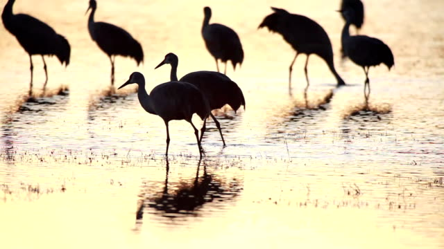 ws ts pan sandhill cranes standing in marsh water at sunset / bosque del apache, new mexico, usa - bosque del apache national wildlife reserve stock videos & royalty-free footage
