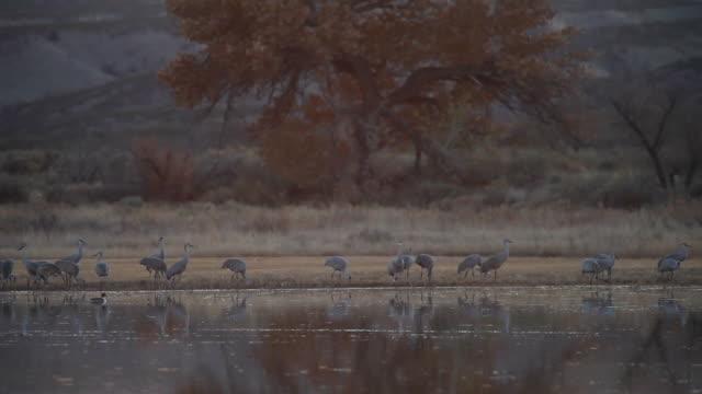 ws tu sandhill cranes standing in marsh water / bosque del apache, new mexico, usa - bosque del apache national wildlife reserve stock videos & royalty-free footage
