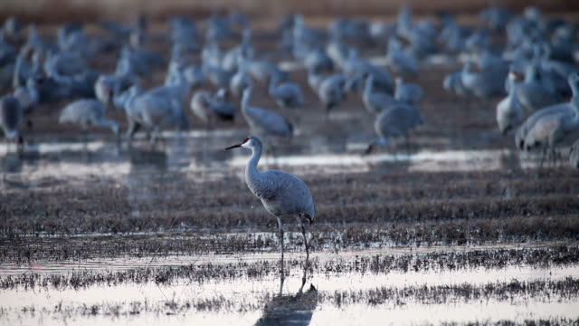 ws sandhill cranes standing in marsh water / bosque del apache, new mexico, usa - bosque del apache national wildlife reserve stock videos & royalty-free footage