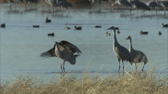 sandhill cranes - spread wings stock videos & royalty-free footage