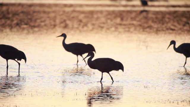 ms sandhill cranes walking in marsh water at sunset / bosque del apache, new mexico, usa - bosque del apache national wildlife reserve stock videos & royalty-free footage