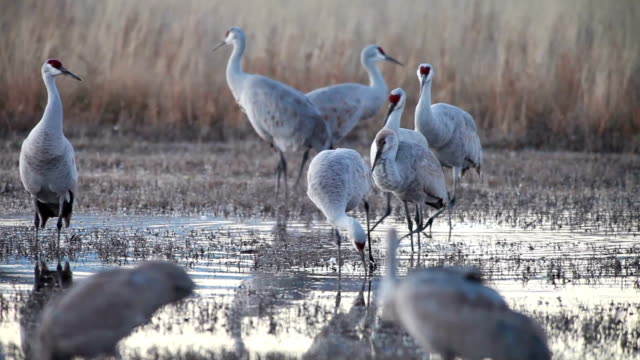 ms pan sandhill cranes walking in marsh water / bosque del apache, new mexico, usa - bosque del apache national wildlife reserve stock videos & royalty-free footage