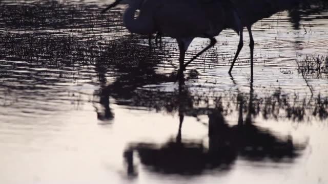 ms pan tu sandhill cranes walking in marsh water / bosque del apache, new mexico, usa - bosque del apache national wildlife reserve stock videos & royalty-free footage