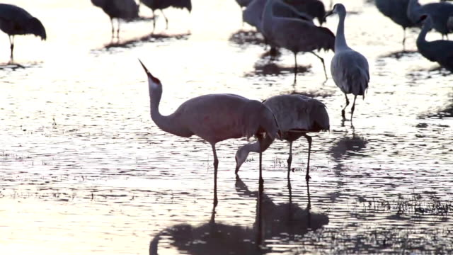 ms pan sandhill cranes walking in the marsh water / bosque del apache, new mexico, usa - bosque del apache national wildlife reserve stock videos & royalty-free footage
