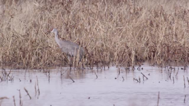 sandhill cranes walking through wetland - wilderness stock videos & royalty-free footage