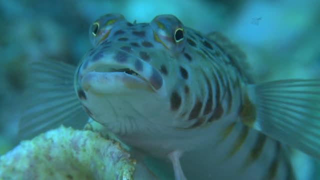 sandperch (parapercis sp.), portrait, monad shoa, malapascua, philippines - gill stock videos & royalty-free footage