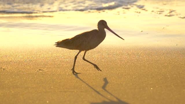 a sandpiper bird eating at sunset on the beach. - slow motion - vattenfågel bildbanksvideor och videomaterial från bakom kulisserna