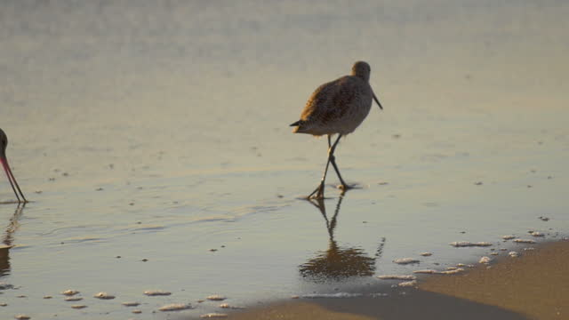 a sandpiper bird eating at sunset on the beach. - slow motion - sandpiper stock videos & royalty-free footage