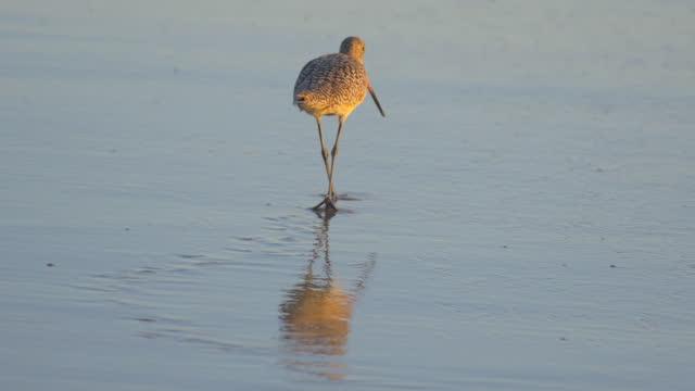 a sandpiper bird eating at sunset on the beach. - シギ科点の映像素材/bロール
