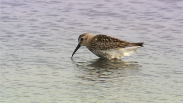 sandpiper feeding in marsh, norfolk, uk - sandpiper stock videos & royalty-free footage