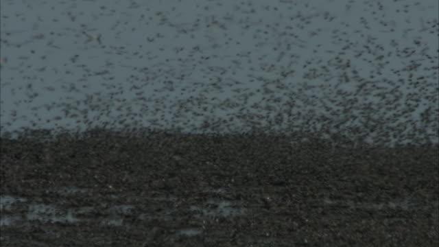 a sandpiper struts along a freshwater beach where mayflies swarm. - シギ科点の映像素材/bロール